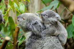 female koala and her baby in Australia