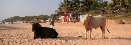 Goa beach with native cows