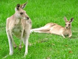 Kangroos in Austraila