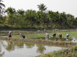chaing mai thailand rice fields
