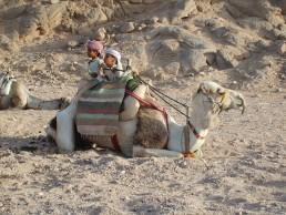 camel in Hurghada