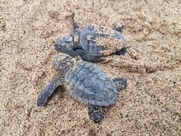 baby turtles hatching inn cape verde