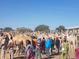 somaliland camel meat