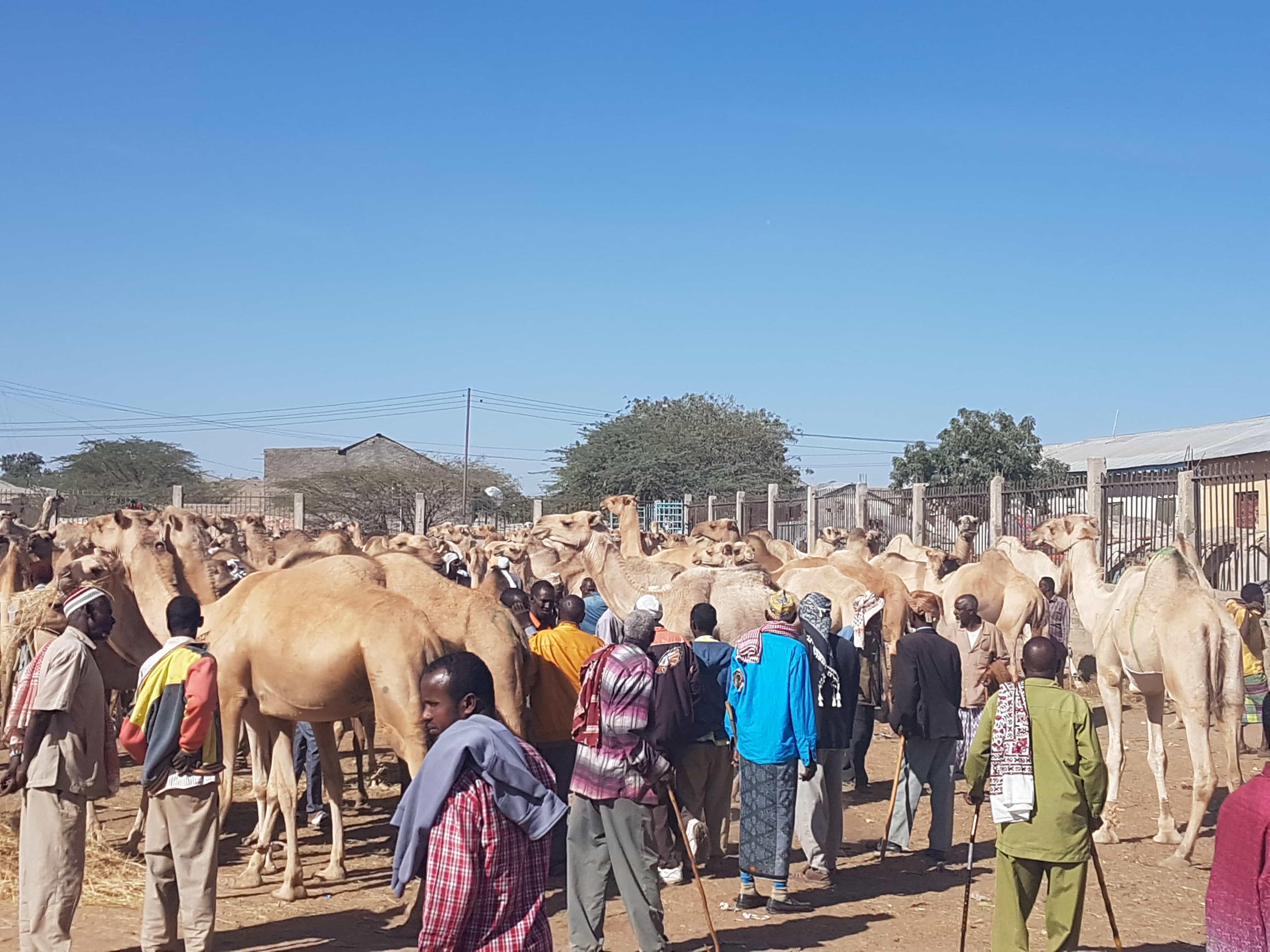 somaliland camel meat