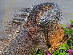 Iguana - Seven Mile Beach Cayman Islands