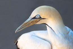 cape-gannet
