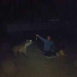 hand feeding hyenas