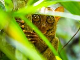 philippines bohol tarsiers